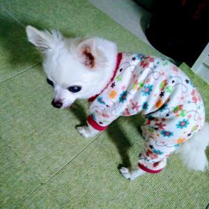 ワワちゃん、パジャマ姿です