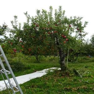 りんご《千秋》収穫。