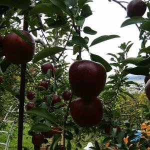 リンゴ収穫。