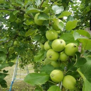 まだまだ林檎の摘果。