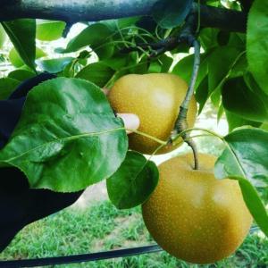 梨《豊水》収穫だなっしー!