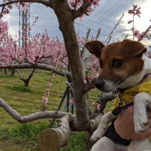 久美姉ちゃんの桃畑