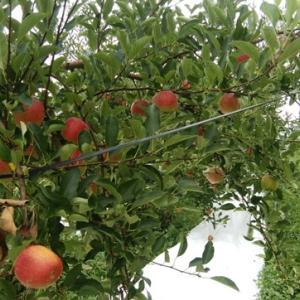 りんご《夏あかり》収穫