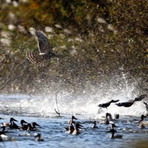 鴨を狙うオオタカ