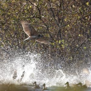 襲う大鷹と逃げ惑う鴨