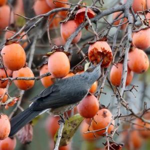 たわわに実った柿にヒヨドリ