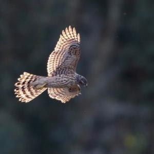 オオタカ若の飛翔