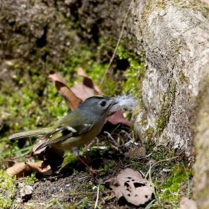 巣材を運ぶキクイタダキ
