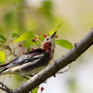 コムクドリの雄と雌