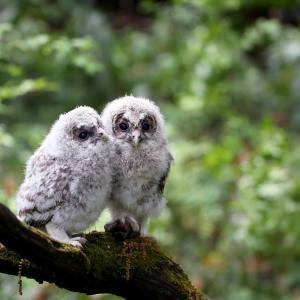 可愛いフクロウの幼鳥の2羽並び