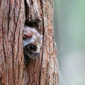 木の洞からムササビ