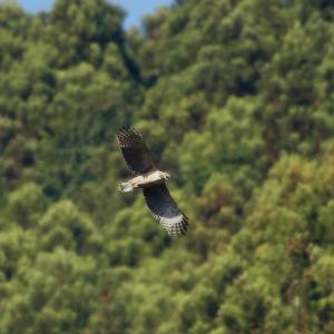 クマタカ若の飛翔