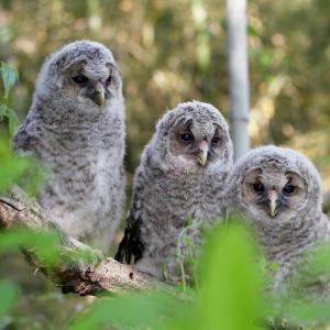 並んだフクロウ幼鳥