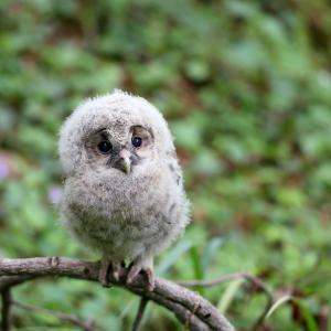 可愛いフクロウの幼鳥