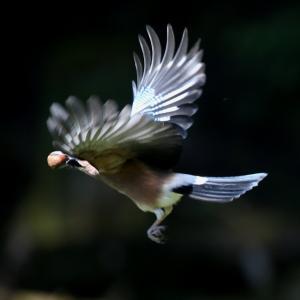 ドングリを銜えたカケスの飛翔