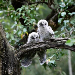 2羽の可愛いフクロウ幼鳥