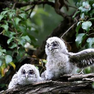 可愛い仕草のフクロウ幼鳥