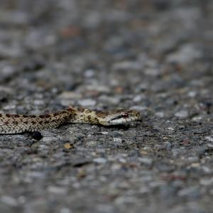 アオバズクの落としたのは蛇