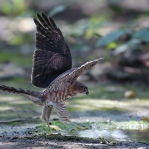 ツミ若の羽ばたき