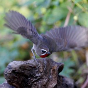 ノゴマの羽ばたき