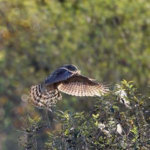 鴨を狙うオオタカのホバリング