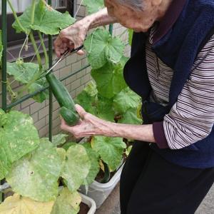 梅雨の合間の収穫