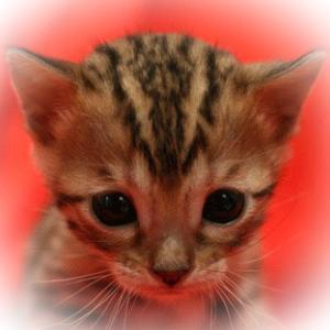 3月31日 土曜日 4月1日 日曜日 子猫販売セールします!