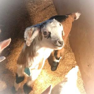 山羊!新しく仲間入りする山羊さんです