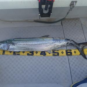 加奈丸で初めて84センチのサワラを釣り上げました。\(^_^)/