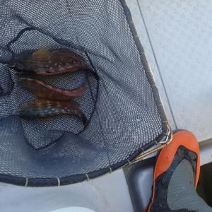泳がせ釣りで85センチのサワラを釣りました。1匹ですけど・・・・