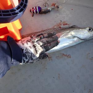 タチウオ釣りのリベンジに行きました。結果は・・・返り討ちですね(´;ω;`)ウゥゥ