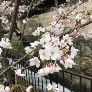 桜と虹とお茶