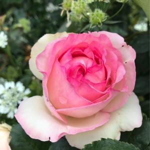 薔薇が咲いて