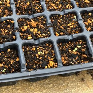 台風にも負けず、ビオラの種が発芽しました