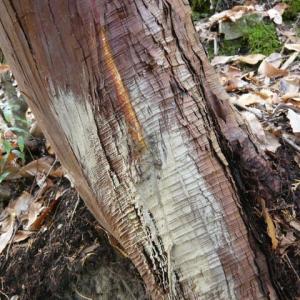 イノシシによる林業被害