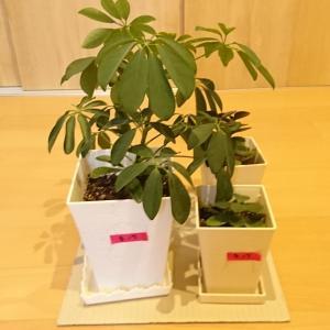 観葉植物の植え替え。