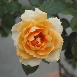 あきらめていた秋のバラ