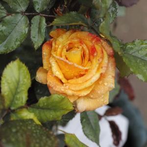 リオサンバの花