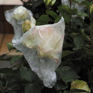 バラを雨から守りたい☂