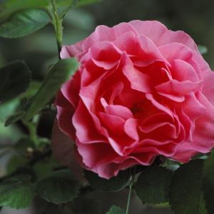 バラの香りが溢れてきました。