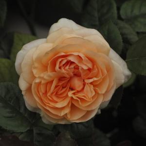 魅かれるバラが咲いてきて