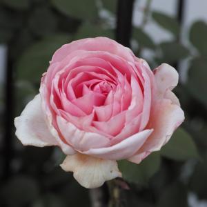 ジェフハミルトンって年に2~3輪のバラ