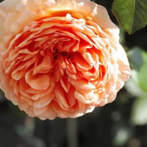 同じ色彩のバラに魅かれる。