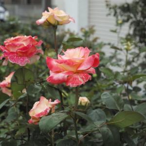 春の優しい色合いダイアナ妃(エレガントレディ)