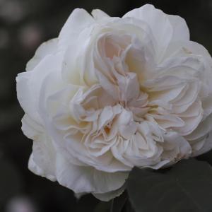 どのバラの香りなのか。