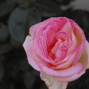 鉢バラの多くが咲き揃い、切って花瓶に