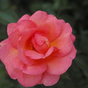 2番花の方がきれいに咲いています。
