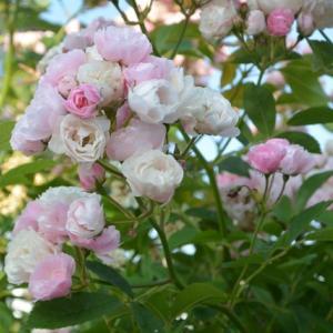 喜多方散歩風景…小さい薔薇の花が好き