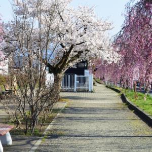 日中線しだれ桜並木は