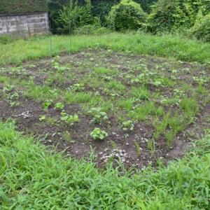 草に埋もれていく棉畑